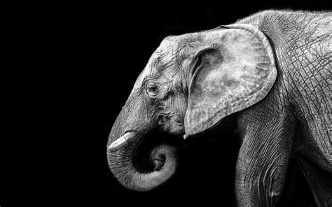 wallpaper elephant black white wallpaper elephant in black and white my hd wallpapers