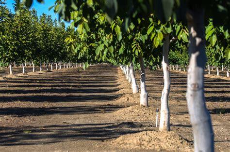 tree farms near sacramento guide to apple hill getaway from sacramento