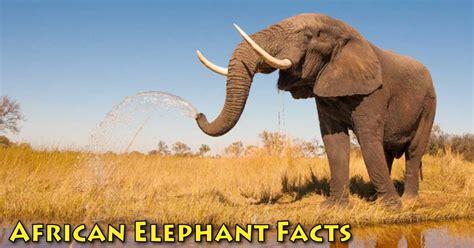 african elephant facts african savanna habitat related keywords african savanna