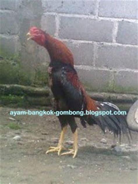 ayam serama turun di tanah bagaimana cara merawat ayam sebelum turun ke kalangan
