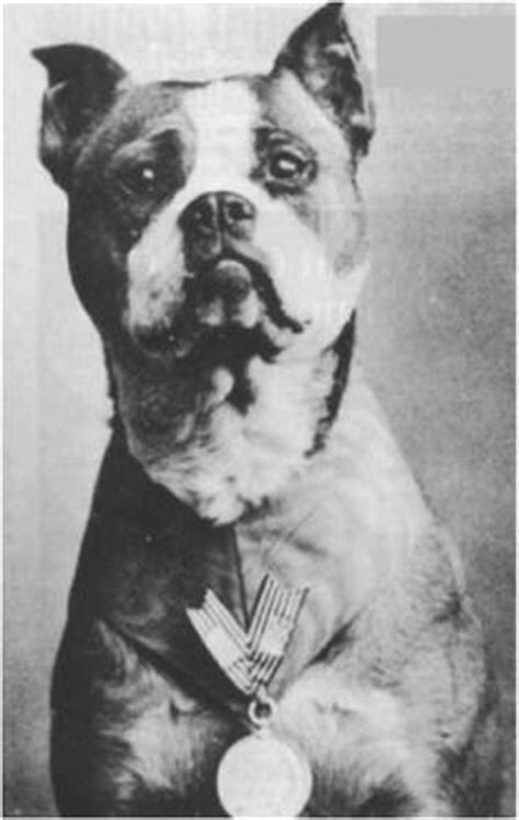 Sergeant Stubby Taxidermy 1000 Images About Lethal Animals On New York Library Bulldogs And The