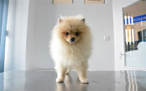 pomeranian lifespan in human years pomeranian puppies breed information puppies for sale