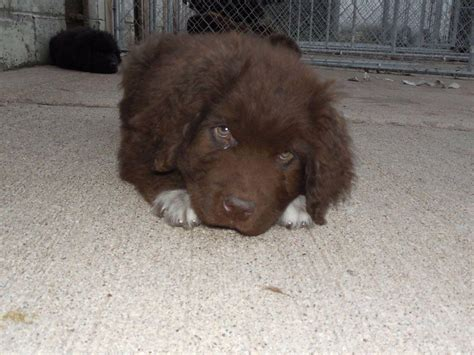 newfoundland puppies michigan maltby breeders pinckney mi