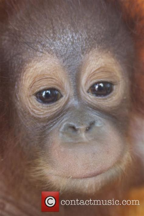 lexus orangutan atmosphere international animal rescue take over care of