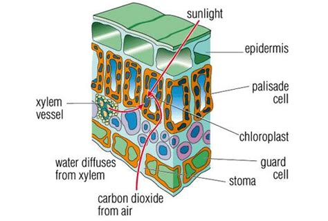 leaf palisade cell diagram 7 best images of leaf cell diagram labeled and what they