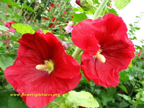 flower images red hollyhock flower pictures