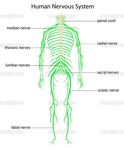 nerves of the human diagram human nervous system chart