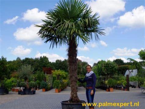 winterharde palmboom in tuin palmboom kopen palmbomen in alle soorten en maten