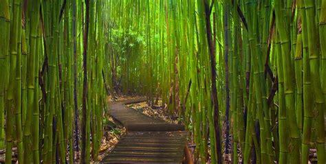 imagenes bambu japones el bosque de bamb 250 de arashiyama en jap 243 n