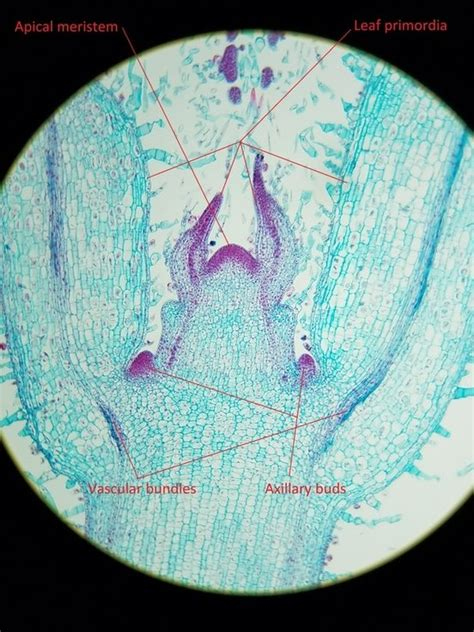 coleus cross section category vascular bundles osu plant structure bot313