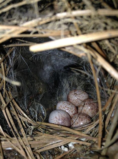 carolina wren eggs birds pinterest