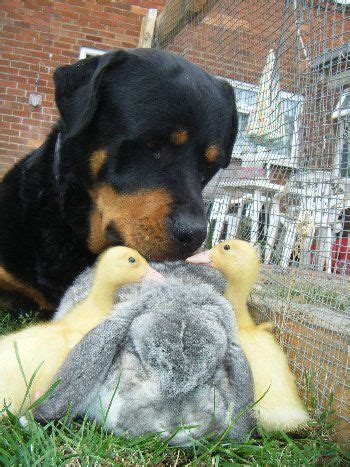 rottweiler duck 130 best rottweilers images on rottweilers doggies and rottweiler
