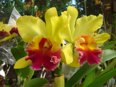 imagenes hermosas de orquideas angels orquideas hermosas