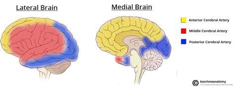 brain blood supply diagram arterial supply to the brain carotid vertebral