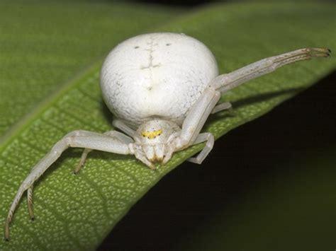 White Garden Spider Uk White Crab Spider Images