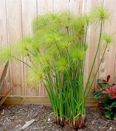 Plants Used For Paper - paper reed cyperus papyrus gardening