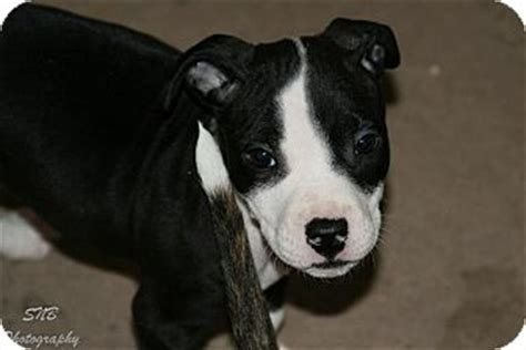 american bulldog pug mix american bulldog pug mix puppy for adoption in oak creek wisconsin fiona
