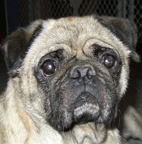 tucson pug rescue bronson hug a pug az rescue adoption grouptucson southern arizona pug rescue