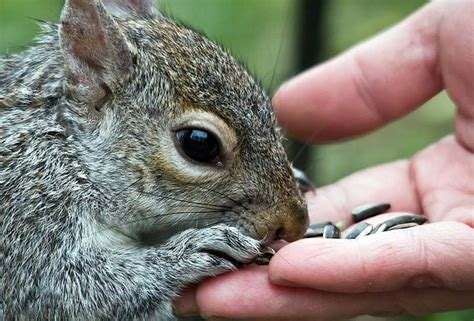 feeding squirrels chipmunks and squirrels pinterest