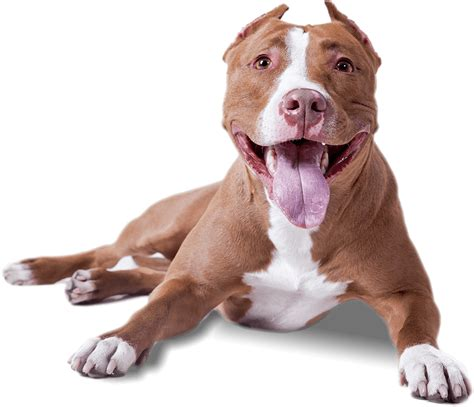 how to your pitbull to be a service pitbull lying transparent png stickpng