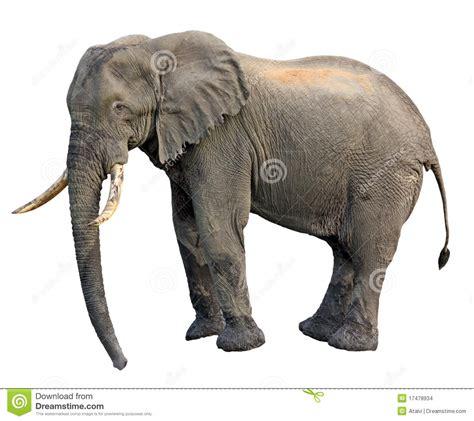 Elephant side view stock photo. Image of ivory, mammal ...