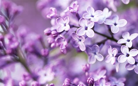hd images of flowers spring purple flowers wallpapers hd wallpapers