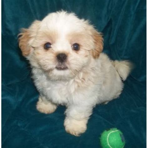 shih tzu rescue oklahoma housepuppies shih tzu breeder in serving all the u s oklahoma listing id 19405