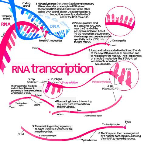 what is the template for transcription a guide to success in vce biology