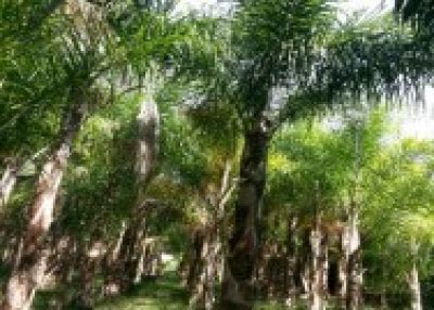 Bussines Opportunity On Palm Industry import export valencia palm trees for sale great opportunity for business