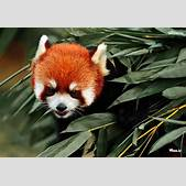 Red Panda Baby ...