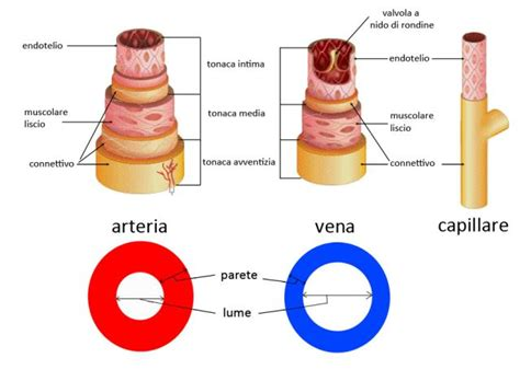 rottura vasi sanguigni differenza tra arterie vene capillari arteriole e