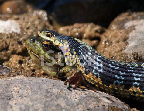 Garter Snake Frog Eastern Garter Snake A Frog Stock Photos