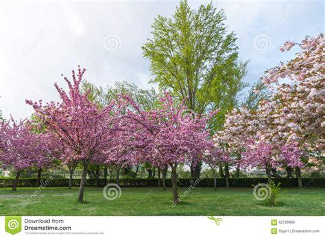 alberi con fiori alberi con i fiori rosa in primavera fotografia stock