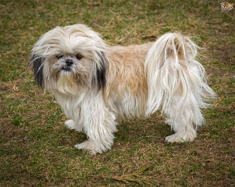 small shih tzu 50 most beautiful shih tzu dogs for home golfian