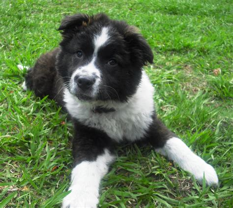border collie puppies wisconsin border collie mix puppies for sale in wisconsin images