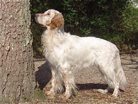 definition de setter anglais setter anglais l avis du v 233 t 233 rinaire choisir son chien