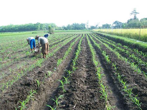 cara pemupukan tanaman jagung manis pertanian