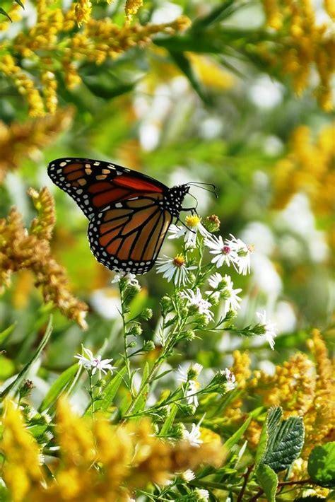 milkweed pods needed for monarch butterflies wvxu