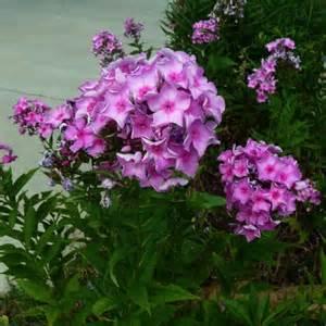 Tall Phlox Flowers - tall garden phlox phlox paniculata