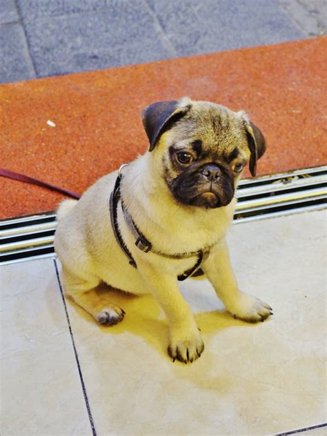 home cooked meals for my pug in quarter hanoi comforting home cooked food and the cutest pugs