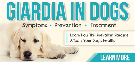 giardia in dogs treatment giardia in dogs symptoms prevention treatment entirelypets