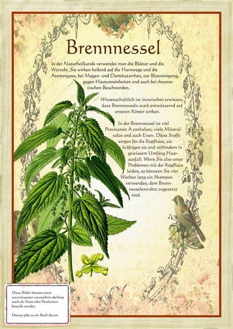 Gartenkräuter Pflanzen by Brennnessel Http Www Kraeuter Verzeichnis De