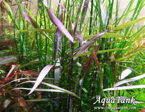 top 28 purple bamboo plant purple bamboo aquarium images popular bamboo purples buy cheap
