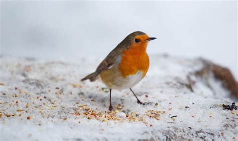 what color is a robin what the breast of a robin says about the distinctive