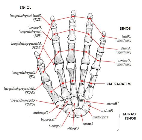 diagram of joints in the anatomy bones and joints human anatomy diagram