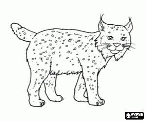 Coloriage Lynx Avec Fortes Jambes De Longues Oreilles Queue Courte  sketch template