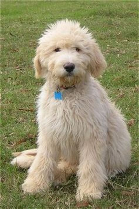 mini goldendoodles ebay 1000 ideas about goldendoodle grooming on