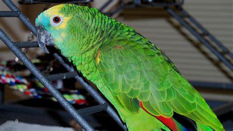blue fronted amazon parrot   amazona aestiva youtube
