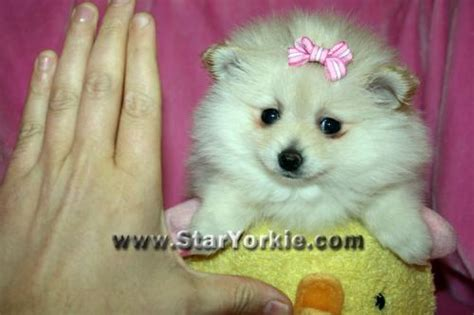 micro teacup pomeranian puppies for sale in pa tiny teacup pomeranian puppies for sale for sale puppies for sale