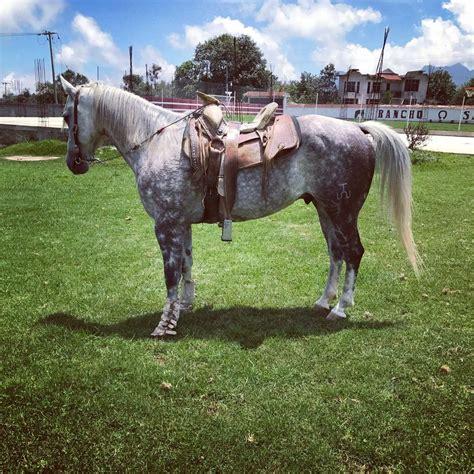 caballos cuarto de milla caballo tordillo cuarto de milla 120 000 00 en mercado